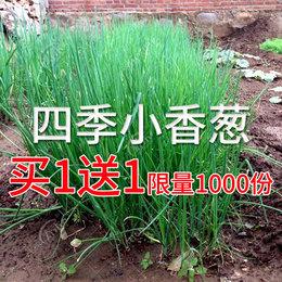 四季小葱种子 家庭小香葱葱种子 阳台盆栽蔬菜种菜香味浓厚香葱苗
