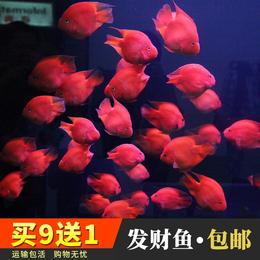 热带观赏鱼 血鹦鹉鱼发财鱼财神鱼易活好养大型鱼活体鱼运输包活