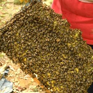 中蜂群带蜂箱土活体蜂苗蜂群群中华蜂群笼蜂蜜蜂中华蜂3脾带蜂王回事软绵绵的是怎么仓鼠图片