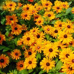 黑心金光菊花种子 花境庭院开花植物 多年生宿根耐寒景观花卉种子
