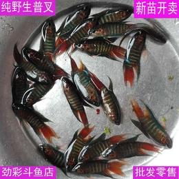 中国斗鱼 普叉 菩萨鱼 盘皮丝 花手巾旁皮婆 蓝叉 黑叉活体观赏鱼