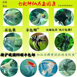 七彩神仙热带活体秘鲁熊猫红眼钻石红头三色观赏燕鱼淡水小型包邮