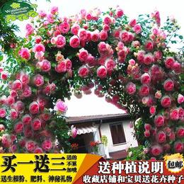 蔷薇花苗爬藤玫瑰月季花卉盆栽大花浓香观花植物绿植庭院室内阳台