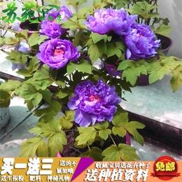 洛阳牡丹花苗盆栽盆景室内客厅阳台花卉绿植物玫瑰芍药四季开花