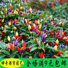 五彩椒种子蔬菜种子农家四季播朝天椒甜椒阳台盆栽花种子辣椒种子