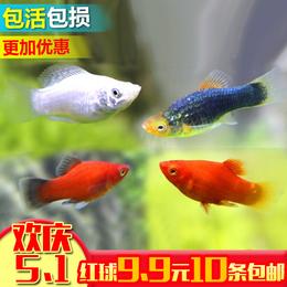 胎生鱼集锦 银黑玛丽鱼金球玛丽月光鱼 热带鱼观赏鱼宠物鱼活体
