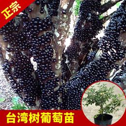 永发名贵树苗台湾嘉宝果盆栽树葡萄树苗盆景四季结果北方南方种植