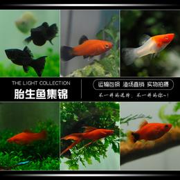 玛丽鱼皮球鱼红箭红玛丽米奇牡丹红白剑除油膜鱼胎生鱼热带观赏鱼
