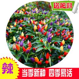 七彩椒食用超辣五彩椒蔬菜种子朝天椒阳台盆栽室内四季花高产辣椒