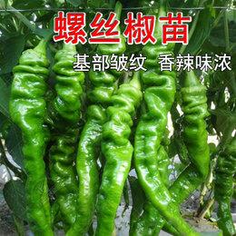 猪大肠螺丝椒种子/苗 香辣味浓 青椒辣椒苗 四季盆栽蔬菜苗种苗