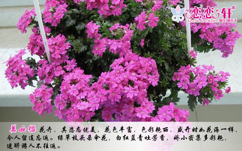 恋恋轩 美女樱种子混色 秋播多年生宿根盆栽阳台易种花卉种子批发