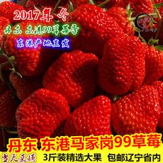 丹东东港马家岗99草莓 新鲜草莓 九九草莓99秸秆草莓丹东红颜草莓