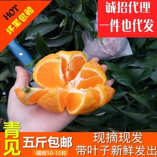 【当季】四川特产蒲江青见橙子现摘现发5斤10-15个孕妇橙子包邮