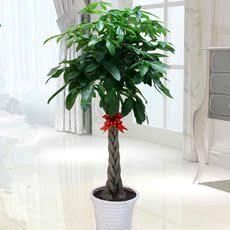 绿植盆栽辫子独杆大发财树办公室内招财摇钱盆景花卉客厅绿萝花苗