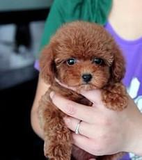 出售纯种泰迪犬幼犬长不大的茶杯玩具泰迪犬狗狗5
