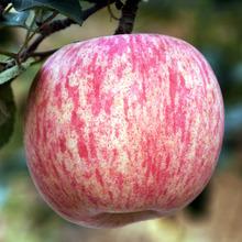 新鲜现摘山东烟台富士苹果5斤包邮新鲜水果85#栖霞红富士