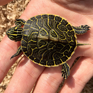 【乌龟活体淡水图片】乌龟活体淡水图片大全_好便宜网