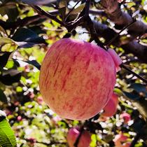 新鲜苹果水果批发山东烟台苹果12个装 80mm当季栖霞红富士平果