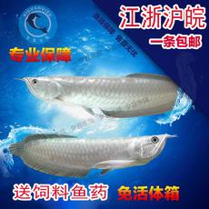 热带观赏鱼银龙鱼大型鱼龙鱼风水鱼精品银龙鱼活体招财鱼银龙鱼苗