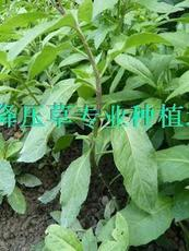 正宗降低血压、血糖的血压萍、仙人菜/棵 多头(专业有机种植)