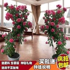 蔷薇花苗5年爬藤苗四季开花庭院攀援花卉观花绿植物盆栽玫瑰月季