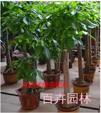 发财树盆栽室内大型绿植金钱树八方来财平安树吸甲醛净化空气包邮