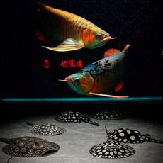 红龙鱼活体辣椒红龙观赏鱼金头过背金龙鱼活体魟鱼活体淡水热带鱼