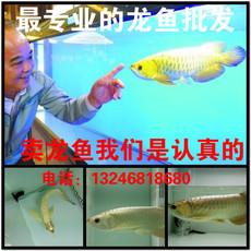 过背金龙鱼活体幼苗观赏鱼练手鱼苗小金头蓝高背红龙鱼热带鱼号半