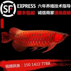 印尼野生红龙鱼活体辣椒紫艳超血红龙金头过背金龙鱼观赏鱼苗风水