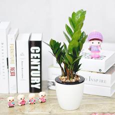 金钱树摇钱树花苗绿植自动吸水盆栽花卉室内植物办公室桌面小盆景