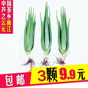 云南元江全露天种植库拉索芦荟小苗绿植盆栽现挖现发3颗9块9包邮