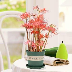 绿植彼岸花曼珠沙华<span class=H>盆栽花</span>种子大种球石蒜花 阳台室内四季种花卉