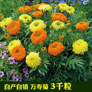万寿菊花种子 花卉<span class=H>鲜花</span>耐寒四季播种 园艺园林景观工程绿化种子A