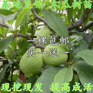 果树<span class=H>苗</span> <span class=H>海南</span>红心火龙果树<span class=H>苗</span> 红心<span class=H>木瓜</span>果树<span class=H>苗</span>盆栽地栽南北方种植