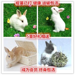小兔子白兔大型肉兔小型兔子活物野兔侏儒兔肉兔垂耳兔<span class=H>宠物</span>兔活体