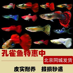 孔雀鱼纯种小型热带鱼白金礼服大耳小型耐养<span class=H>宠物</span>鱼淡水<span class=H>宠物</span>鱼