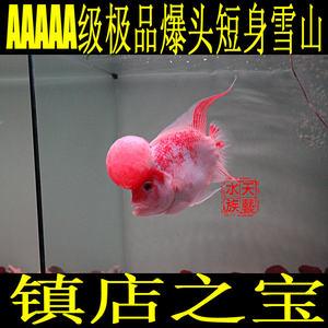 <span class=H>泰國</span>漁場直銷<span class=H>精品</span>爆頭鴻運當頭<span class=H>羅漢</span><span class=H>魚</span>亞成<span class=H>魚</span><span class=H>魚</span>苗熱帶<span class=H>魚</span>觀賞<span class=H>魚</span>活體