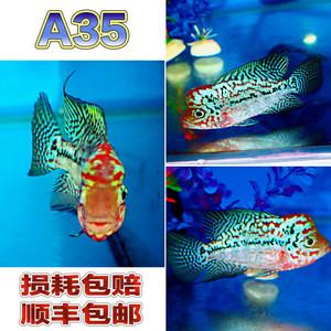 <span class=H>羅漢</span><span class=H>魚</span><span class=H>精品</span><span class=H>泰國</span>金花<span class=H>羅漢</span><span class=H>魚</span>金花<span class=H>羅漢</span><span class=H>魚</span>紅底金花<span class=H>羅漢</span><span class=H>魚</span> A07