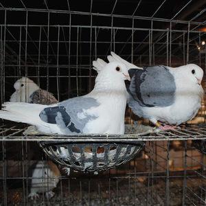 小白兔子五斤包邮包活新鲜活体七彩野鸡珍珠鸡肉兔鸽子土鸡母鸡