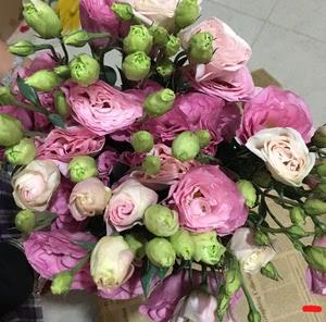 洋桔梗鲜花 粉色白底紫边 品韵鲜花超大把特价包邮 昆明插花直发