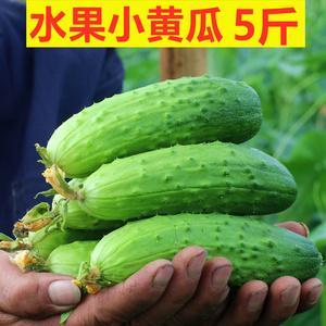<span class=H>水果</span>小黄瓜5斤 新鲜小青瓜东北旱当季海阳白玉山东五孕妇生吃蔬菜