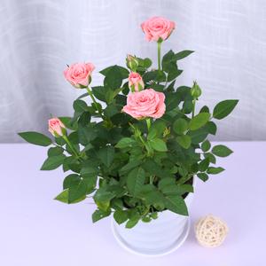 迷你玫瑰花盆栽带花苞室内花卉观花植物四季开花园艺<span class=H>鲜花</span>月季花苗